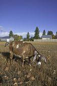 Grazing Goat.