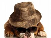 Bulldog With Fedora And Glasses