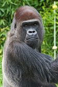 picture of lowlands  - A large male Western Lowland Gorilla stares intently at the photographer - JPG