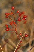 Winter Berries In Sun