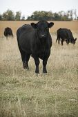 Angus Bull