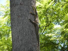 foto of goanna  - Lace Monitor  - JPG