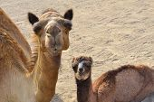 Camels little Family closeup