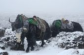 Yak Caravan Going From Everest Base Camp In Blizzard, Nepal, Himalayas ,chomolungma Region