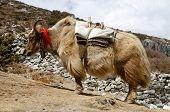 Nepalese Long-haired Yak,himalaya Mountains,everest Region