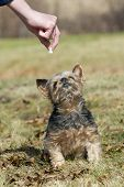 picture of yorkie  - A small yorkie looking to get a treat - JPG