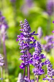 image of salvia  - Blue Salvia is plant in the mint family - JPG
