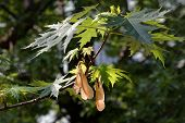Spring branch of a maple tree with several samaras hanging down