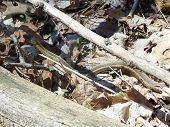 picture of yucky  - long slinky snake hiding in the naturalness of nature - JPG