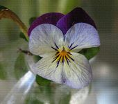 That Blue Pansy