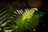 The fronds of a fern in sunlight with summer rain.