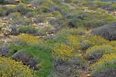 stock photo of sissy  - Helichrysum stoechas in bloom between the mountains of Sissi in Crete Greece - JPG