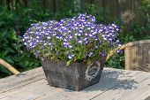 foto of lobelia  - Garden table decorated with bucket  blue lobelias - JPG