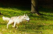 Adult Syberian Husky running on grass