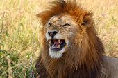picture of leo  - A male lion  - JPG