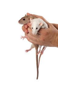 stock photo of fancy mouse  - Fancy rats in hands - JPG