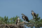 Osprey Family Sitting In The Nest