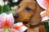 Dachshund Puppy with Lily Pollen on Nose