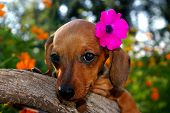 Aloha Dachshund Puppy