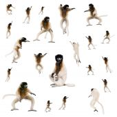 Collage Of Young Crowned Sifaka, Propithecus Coronatus, Studio Shot