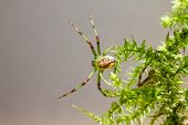 The Green Crab Spider (Diaea dorsata)