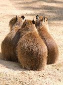 Capybara (hydrochoerus Hydrochaeris) Is The Largest Rodent In The World