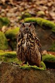 Eurasian Eagle Owl On The Rock