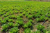 Lettuce Plant Field.