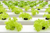 picture of gents  - Hydroponic vegetables growing in greenhouse at Genting Highlands Malaysia - JPG