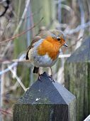 pic of robin bird  - The European Robin  - JPG