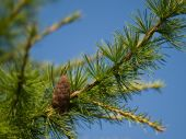 Larch Cone on a branch against the blue sky