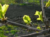 Close-up Of Green Grapevine Sprig