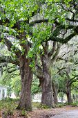 image of tillandsia  - The famous live Southern Live Oaks covered in Spanish Moss growing in Savannah - JPG