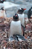 Adult Gentoo And Chicks Antarctica