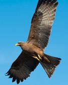 Black Kite (milvus Migrans) In Flight