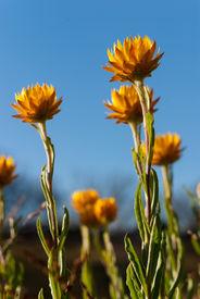 pic of bogong  - Summer daisies on the Bogong High Plains - JPG