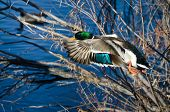 pic of male mallard  - A Male Mallard Duck Flying to the Lake - JPG