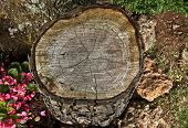 stock photo of begonias  - Tree stump with pink begonias and rocks - JPG
