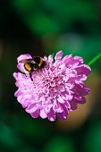 Scabiosa And Bee