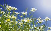 Daisies growing in grass with blue sky behind