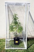 A Genuine Medical Marijuana plant being grown in its own personal green house outside. Green Houses