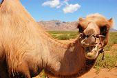 Bactrian camel in Mongolian Gobi desert