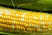 foto of corn-silk  - Fresh corn on a cob with husk and silk - JPG