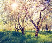 pic of orchard  - Blossoming apple orchard in spring - JPG