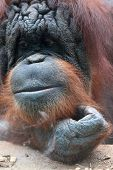 Closeup Of Bornean Orangutan