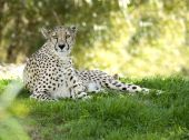 African Cheetah Adult Female In Shade Under Tree Big Cat
