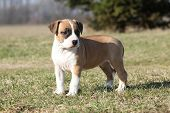 Gorgeous Little Puppy Of American Staffordshire Terrier Standing In Nature