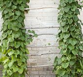 picture of creeper  - Green creeper plant climbing a ladder - JPG