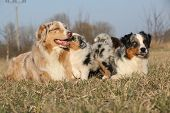 Beautiful Australian Shepherd Dog With Its Puppies
