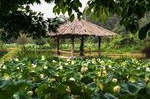 White lotus flower pond